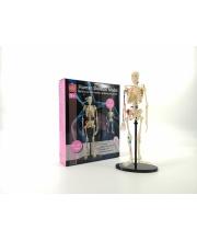 Набор Анатомический скелет Edu-Toys